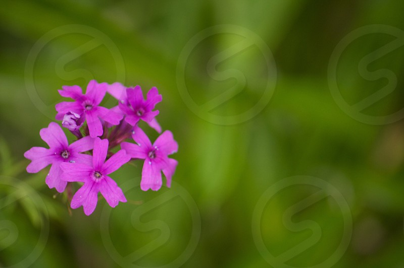 Pink Purple flowers with blurred green background. photo