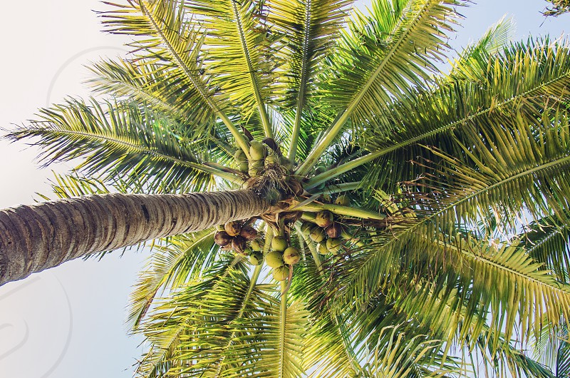 A coconut palm with an abundance of coconuts. photo