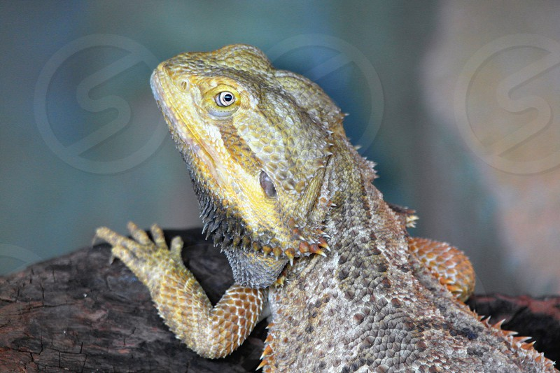 bearded dragon on brown rock photo