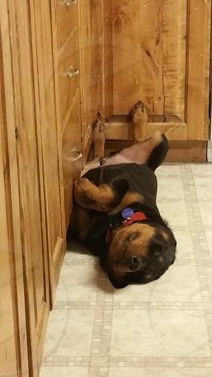 rottweiler sleeping photo