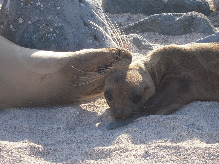 brown fur seal photo photo