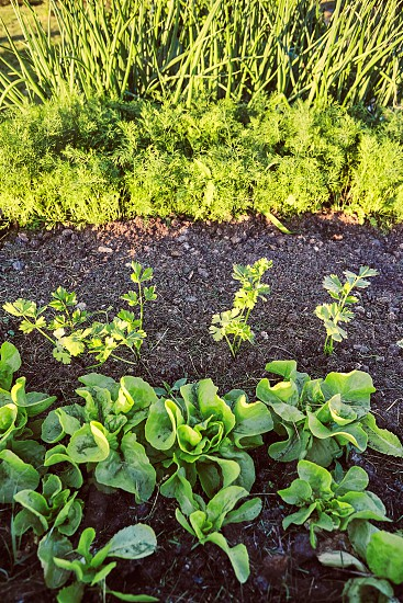 Vegetables growing in home garden. Lettuce chives and carrot photo