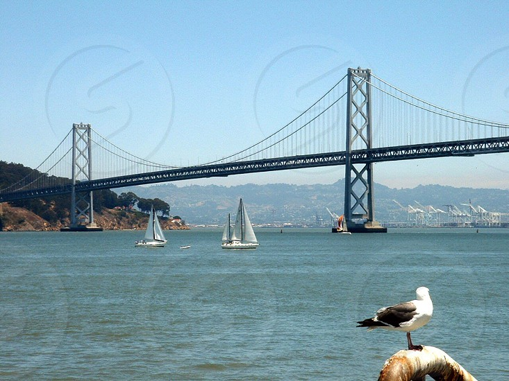 3 white sailboats on calm blue sea water under oakland bay bridge with white and black bird perched on white brown pipe in foreground under clear blue sky during daytime photo