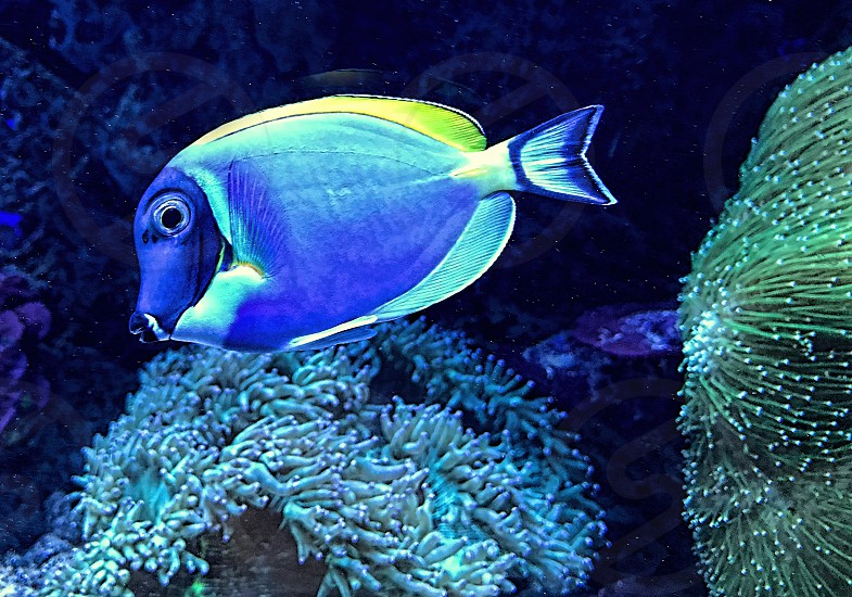Bright blue fish swims near blue and green seaweed photo