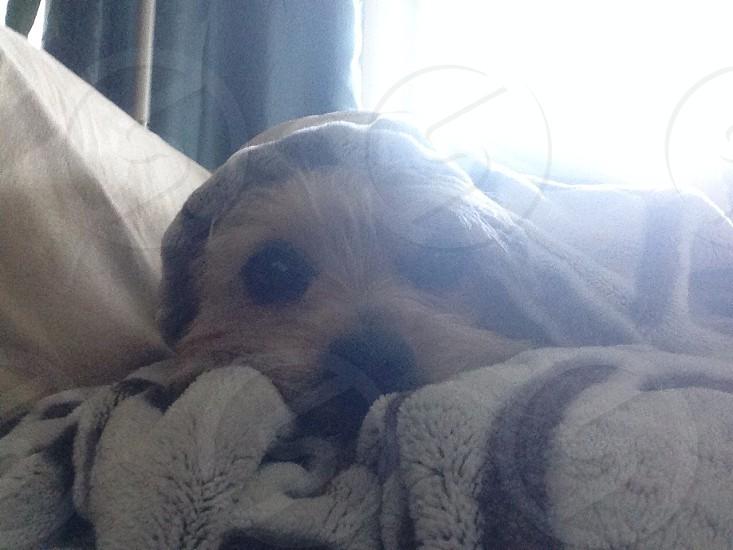 dog covered blanket photography photo