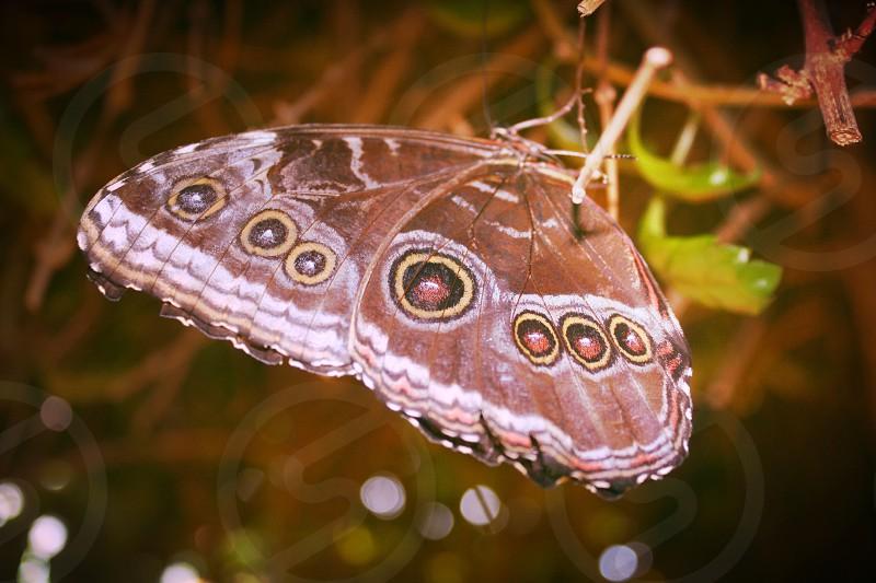 common buckeye butterfly macro photography photo