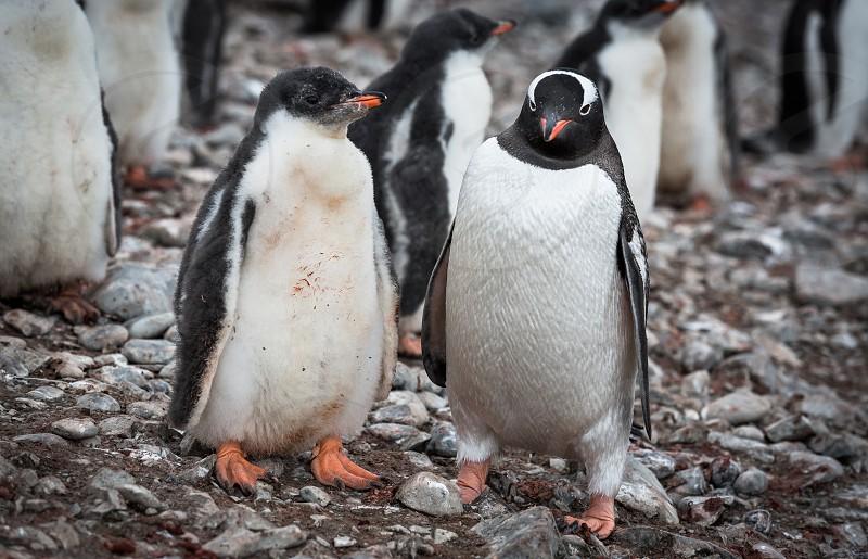 Gentoo penguins and chicks on Hannah Point island Antarctica photo