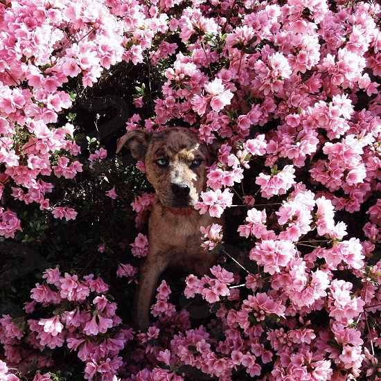 medium-size tan brown short-hair blue-eye dog sitting among pink flowers photo