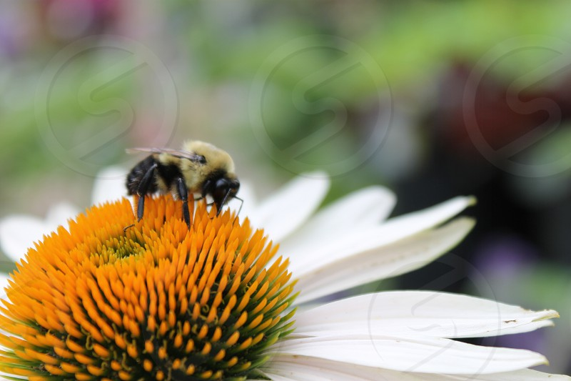 Bee Daisy Spring Pollinating Digger bee Carpenter bee Bumble bee Yellow Black White Orange  photo