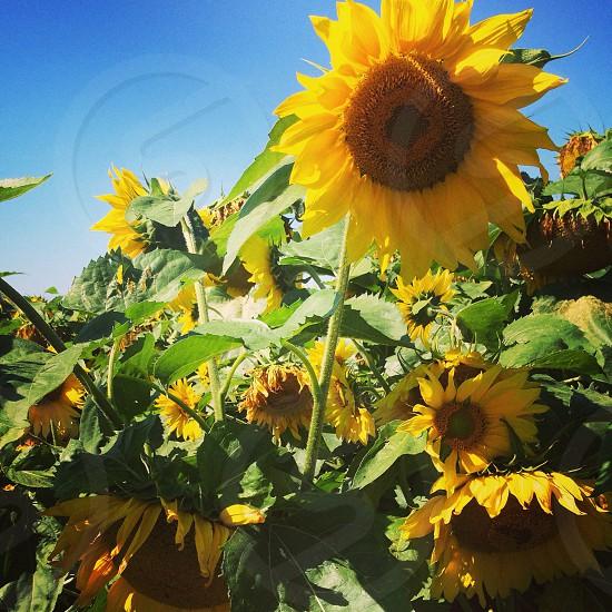 Sunflower field summer photo