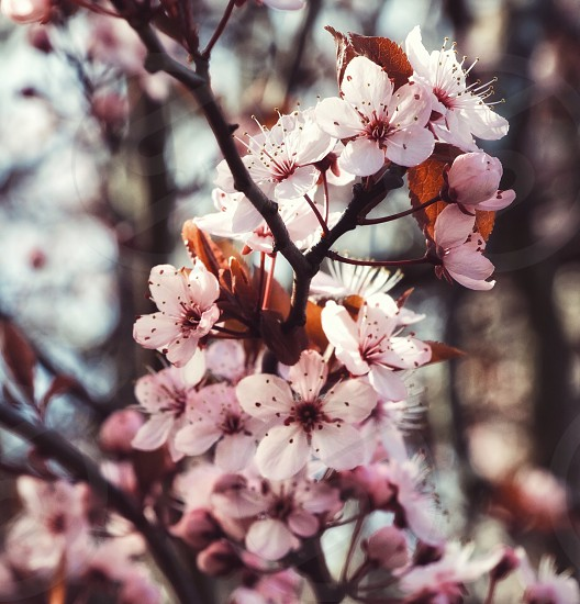 cherry blossom flowers on a branch photo