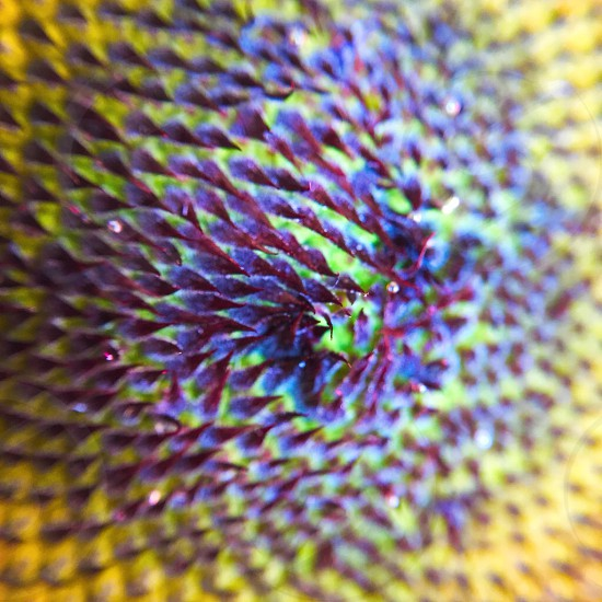 Sunflower unionville Markham Ontario summer yellow beautiful fun sun photo