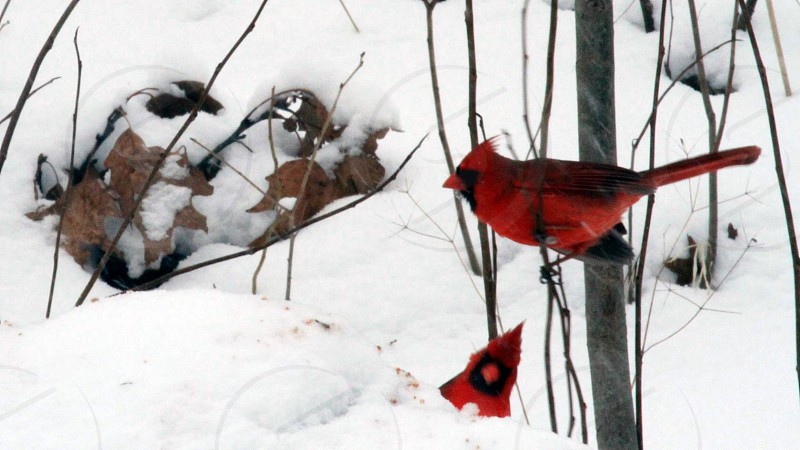 red cardinal on twig photo