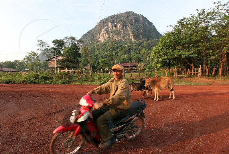 cows at a Road in the landscape on the road12 bedwen the Towns of Tha Khaek and the Village of Mahaxai Mai  in central Lao in the region of Khammuan in Lao in Souteastasia. photo
