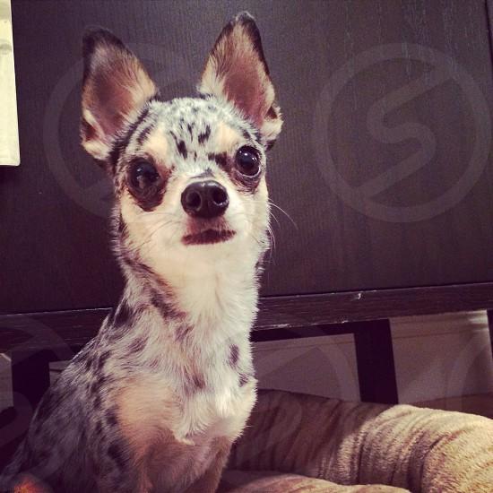Sadie Moramax Merle blue chihuahua  photo