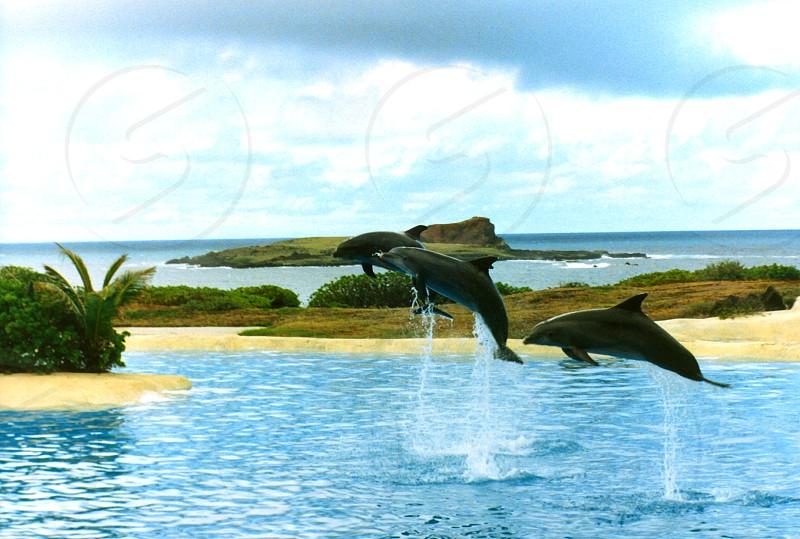 Dolphins Jumping Hawaii USA photo
