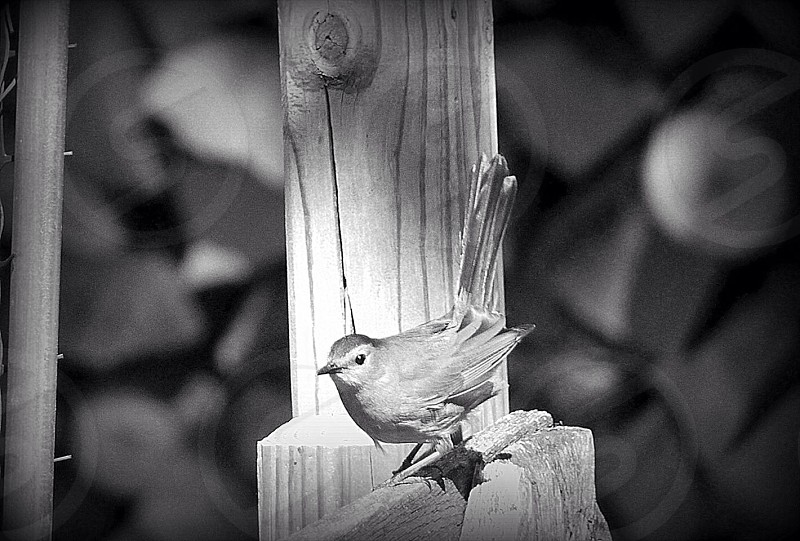 Woodpile warbler photo