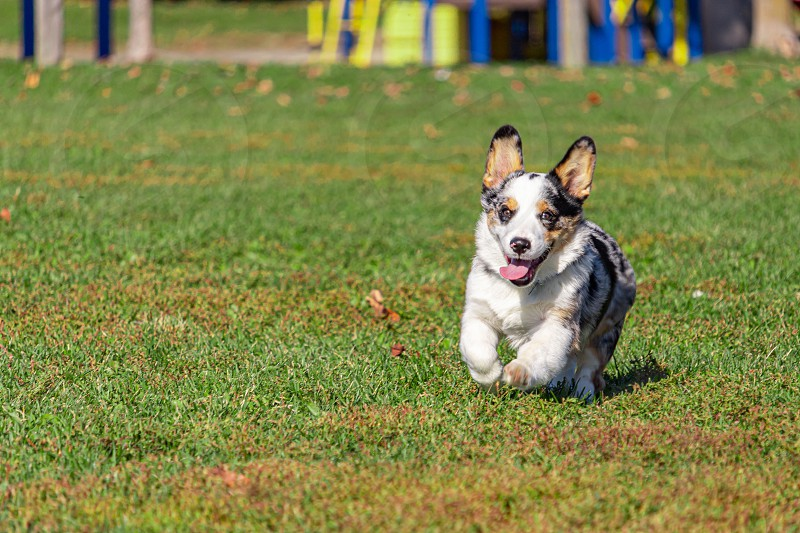 A Welsh corgi is running this way its front paws lifted up as it bounds forwards. The small dog's tongue hangs out as it runs with a look of excitement. photo