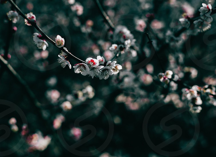 cherry blossom in shallow focus photography photo