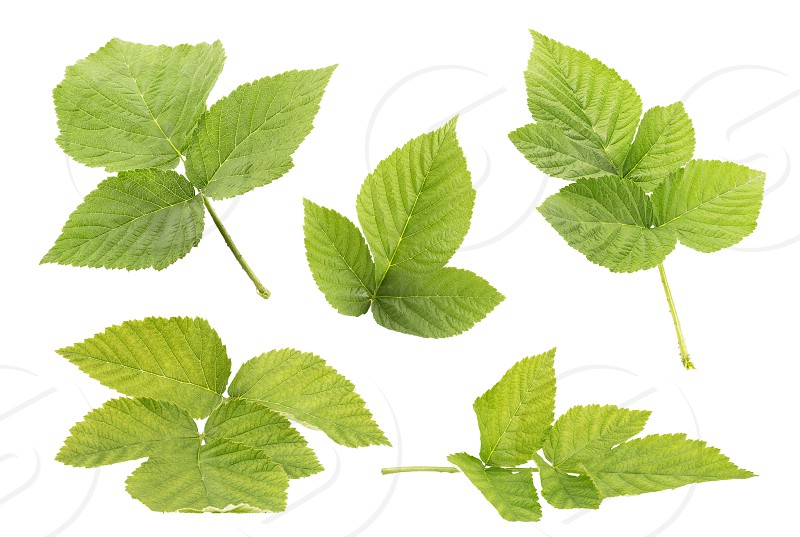Raspberry leaf collection isolated on withe background with clipping path as package design element and advertising. Professional studio macro shooting. Professional studio macro shooting photo