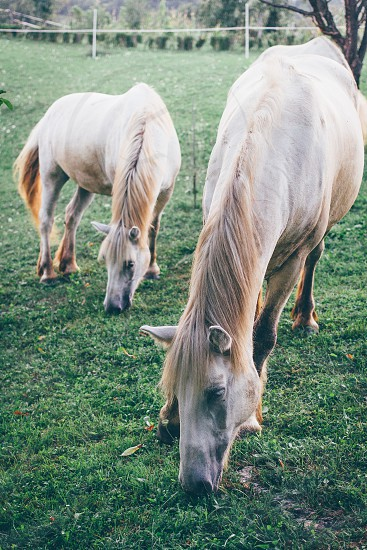Horses grazing on a ranch in Croatia photo