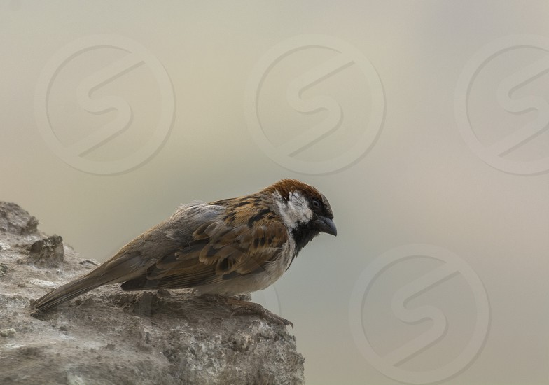 The most common bird found in urban areas is house sparrow. #avifauna #sparrow #nature #bird photo