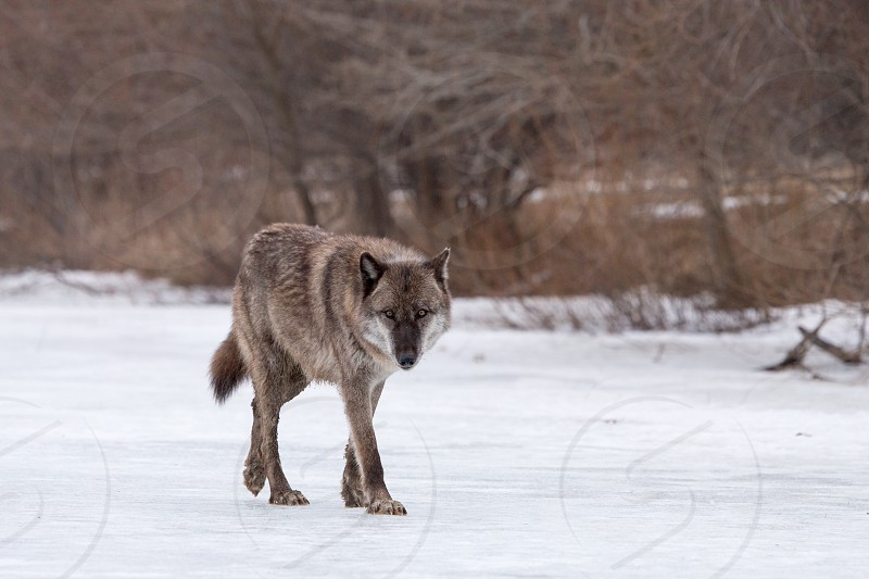 Eye level with a wolf crossing a frozen lake photo