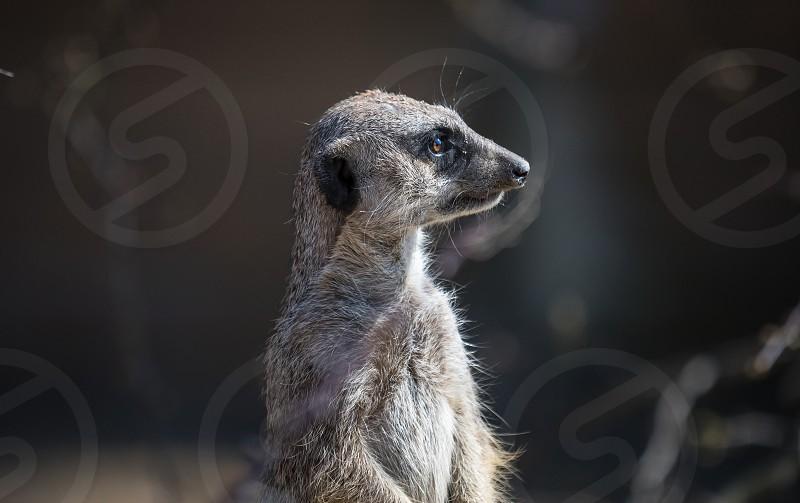 A meerkat in the Stuttgart zoo Wilhelma photo