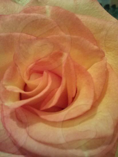 A rose photo