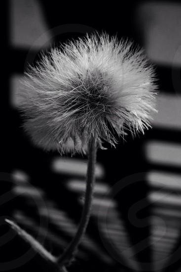 grayscale photo of dandelion photo
