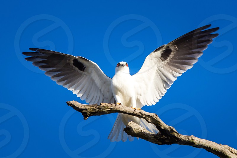 Open wings bird of prey black shouldered kite white photo