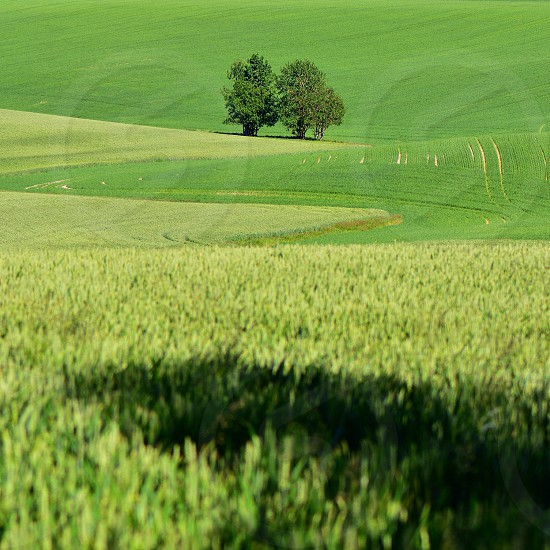 green rolling hills with 2 tall trees photo
