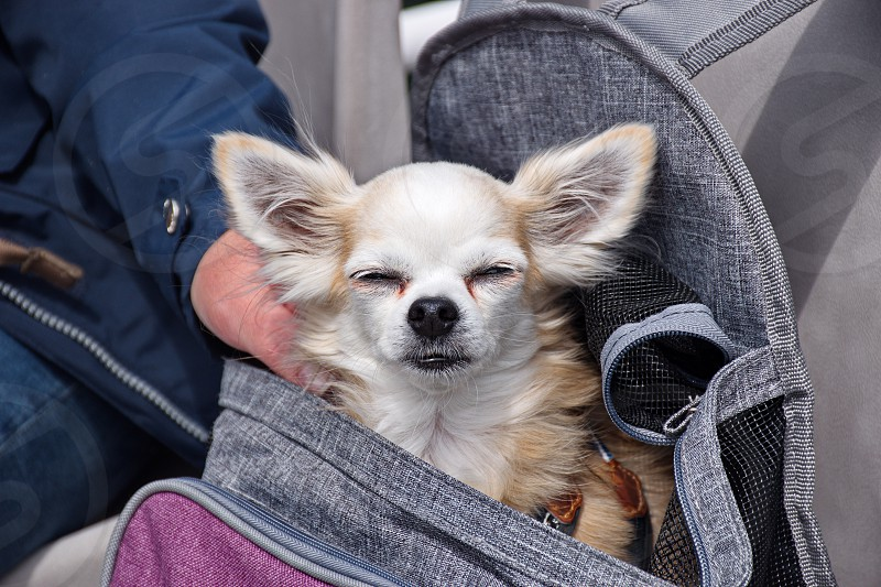Cute chihuahua dog traveling in the bag photo
