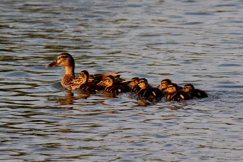 new beginners mother duck and duclings photo