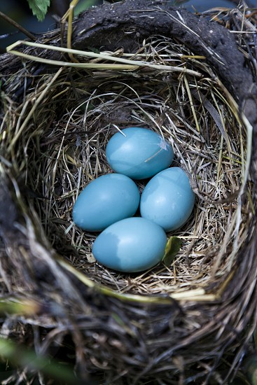 blue egg photo