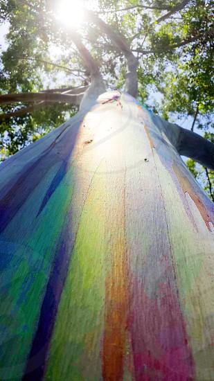 Eucalyptus Tree in Hawaii. photo