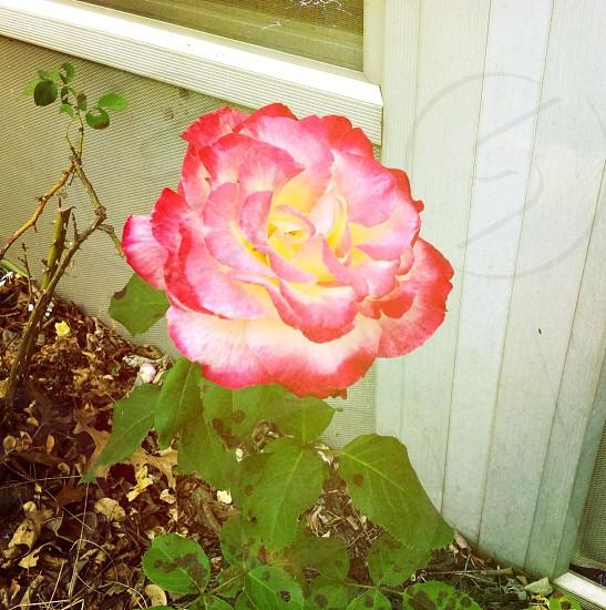 Fire Flower! photo