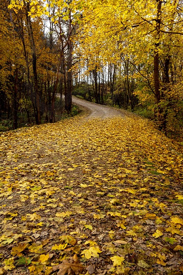 A dirt road in Vermont covered in yellow leaves during Fall Foliage  photo
