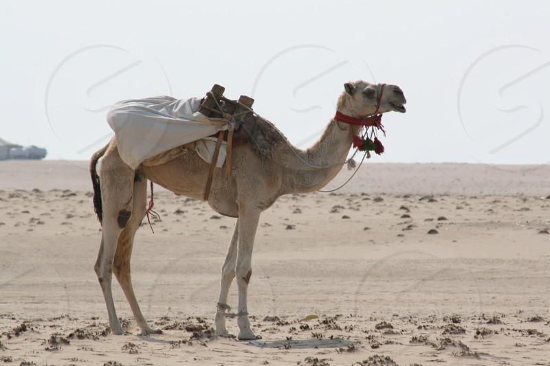LisAm Camel Desert Animal Mammal photo