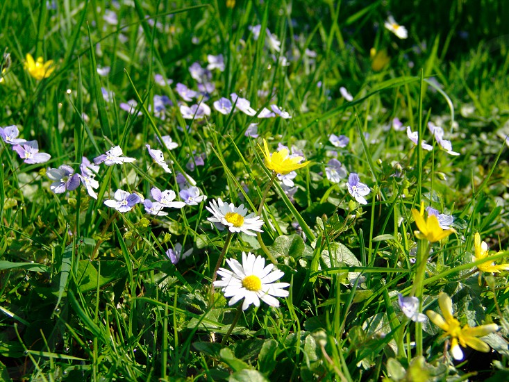 Meadow daisies butter cups forget me knots grass photo