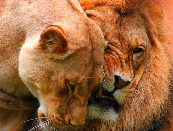 Lions nuzzling. Female lion and male lion.  photo