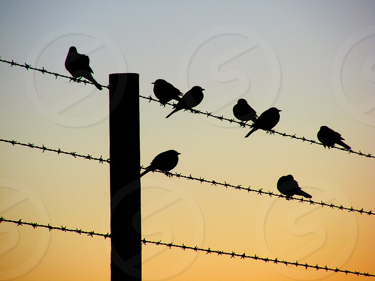 Small birds looking like musical notes are silhouetted against the dawn as they sit on a wire fence. photo