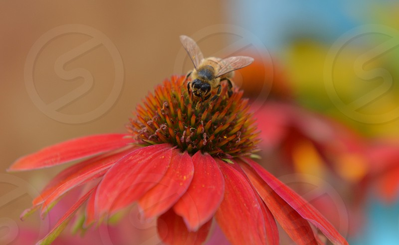 Bee on Salmon colored Coneflower photo