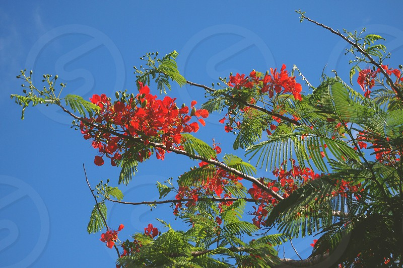 flowers red fiji tropical photo