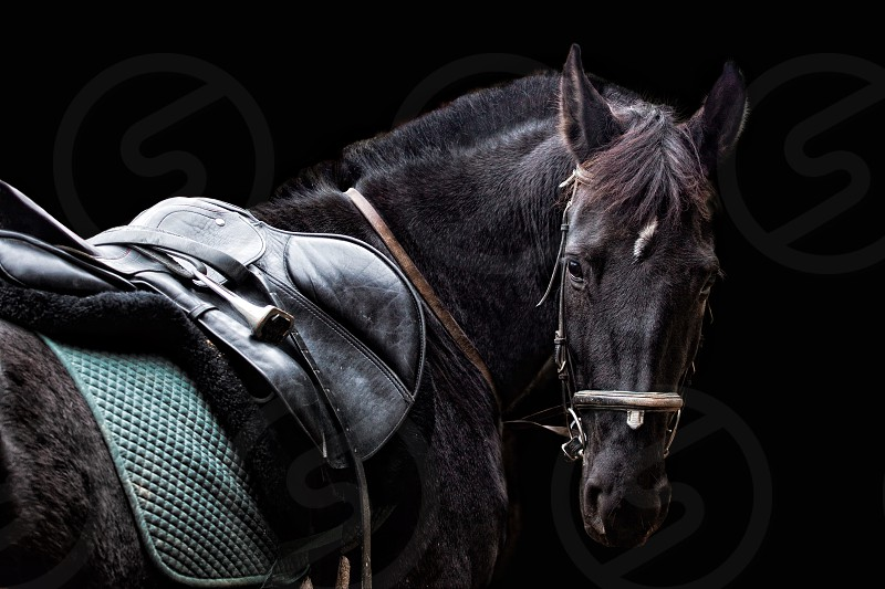 Horse black saddle equine equestrian sport photo