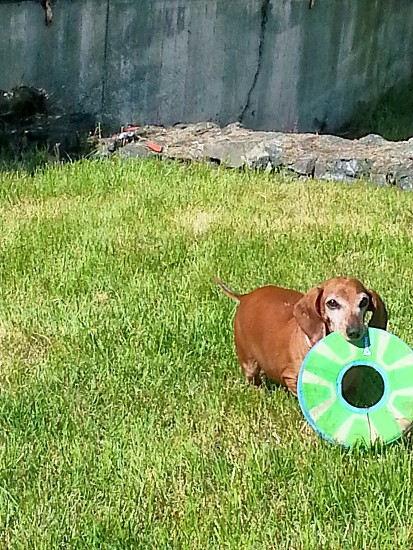 doxie dachshund pet frisbee dog photo