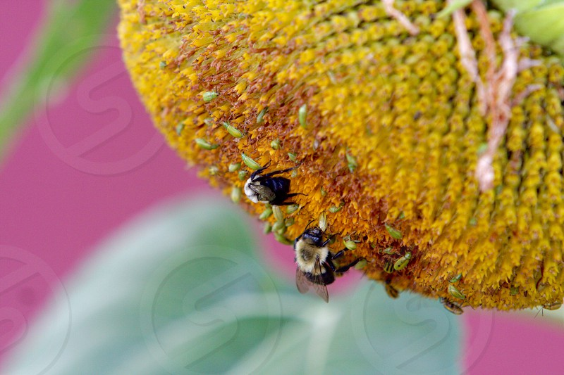 Sunflower bees and bugs photo