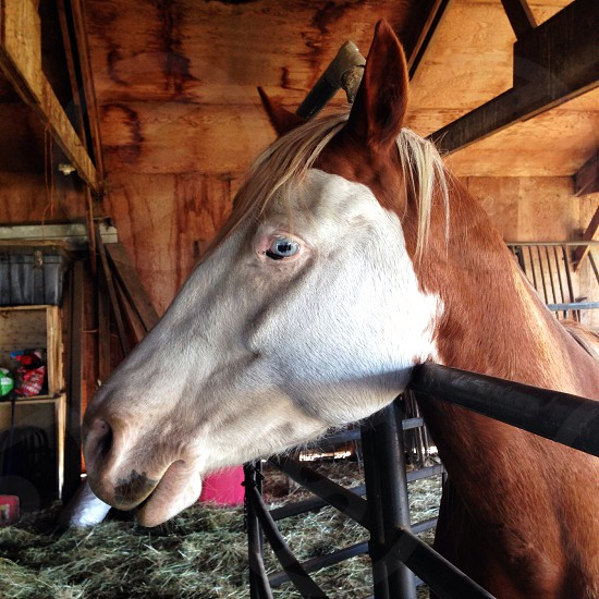 white and brown horse with blue eyes photo
