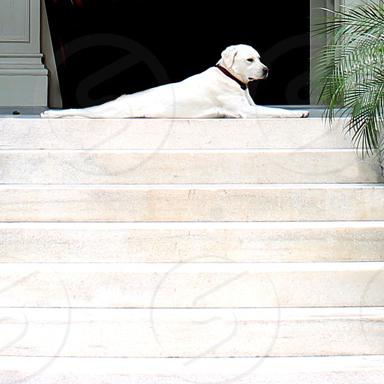 White Labrador Retriever dog lies down on top of white stairs to the entrance of a house  photo