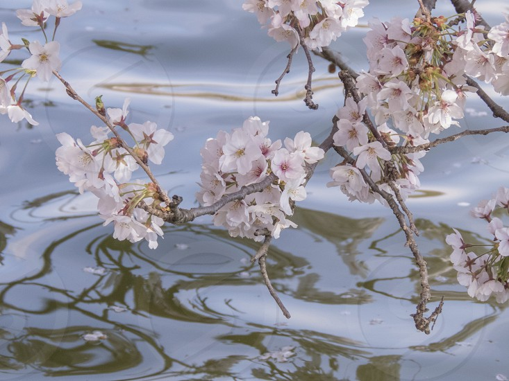 Cherry blossoms over water  photo